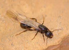 formiche volanti vendita insetticidi contro le termiti e formiche alate