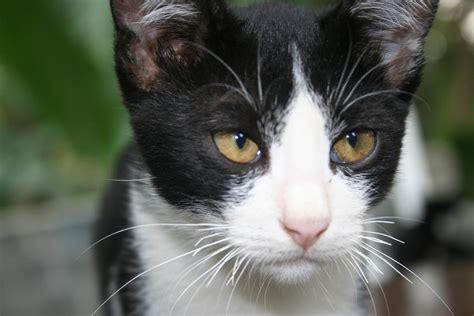 sisir belang besar tip menjadikan kucing kung sekelas kucing