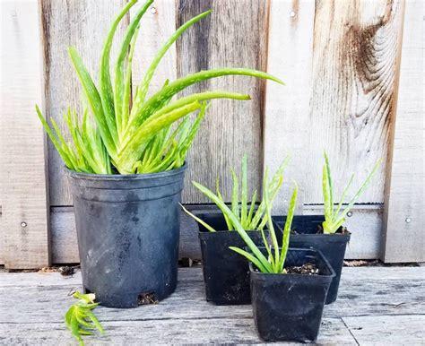 Ableger Aloe Vera by Aloe Vera Pflanze Durch Kindel Und Stecklinge Vermehren