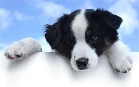 black and white dog wallpaper dog dogs wallpaper 33354509 fanpop