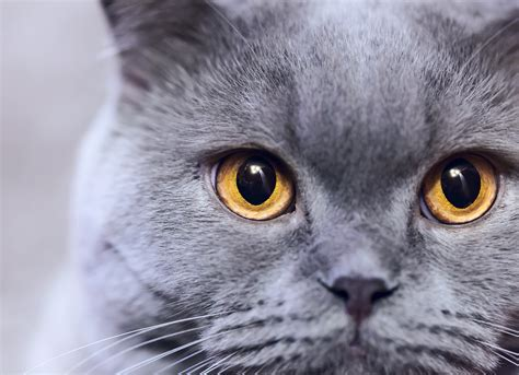 blue cats cat breeds 101 the russian blue greengato