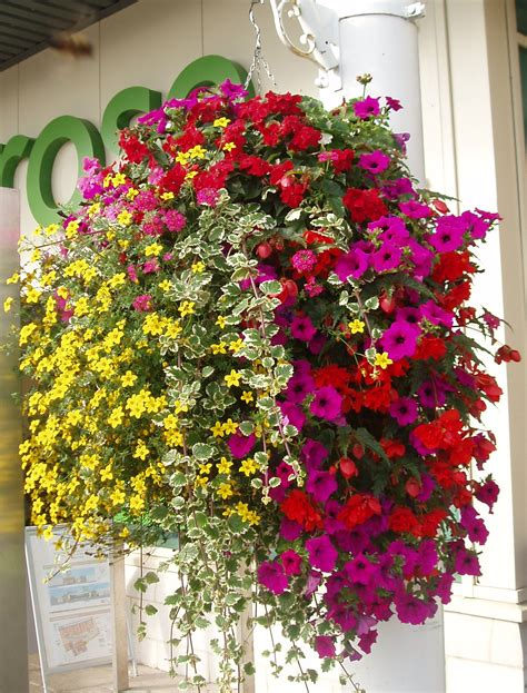 Plants For Hanging Planters by Replanting Hanging Baskets Choice Plants