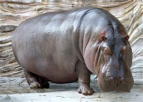 Hippo Top 1 river hippo the animal facts