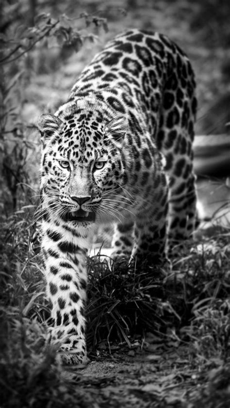 black and white leopard wallpaper leopard black and white wallpaper free iphone wallpapers