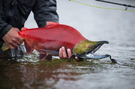 sockeye salmon and the bristol bay ecosystem alaska fishing trips