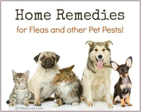 home remedies for fleas bukit