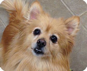 pomeranians for adoption in ct oxford ma pomeranian meet pearl a for adoption http www adoptapet pet