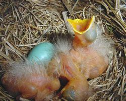 american robin nests and eggs