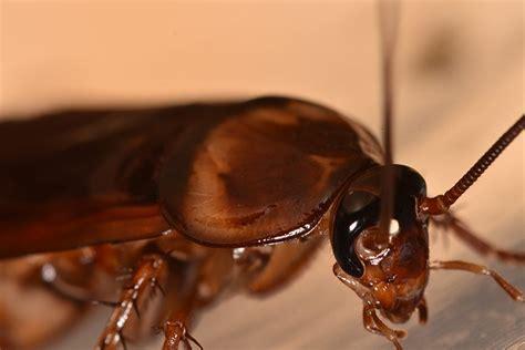 nyc pest control exterminators  cockroaches