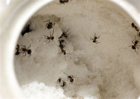 What Attracts Ants In The Bedroom by Most Used Solutions To Get Rid Of Ants In Your House