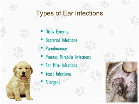 bacterial ear infection in dogs ear infection in dogs causes treatments and prevention