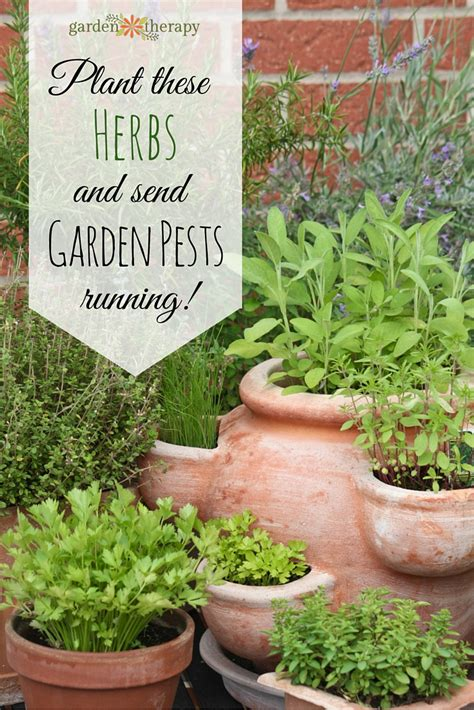 herb garden plants these powerful herbs flowers deter pests naturally in