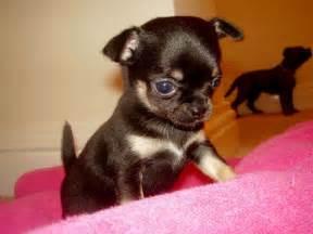 Puppies for sale in sc teacup chihuahua puppies for sale near me