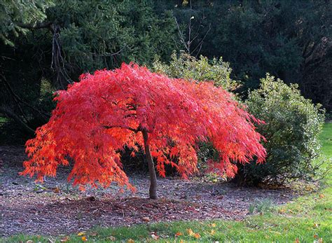 maple tree width the gallery for gt japanese maple tree size