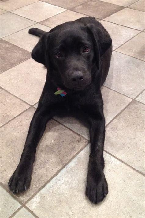 lab puppies for sale in richmond va labrador retriever breeders richmond va dogs in our photo