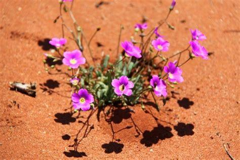 fiori deserto fiori deserto viaggi vacanze e turismo turisti per