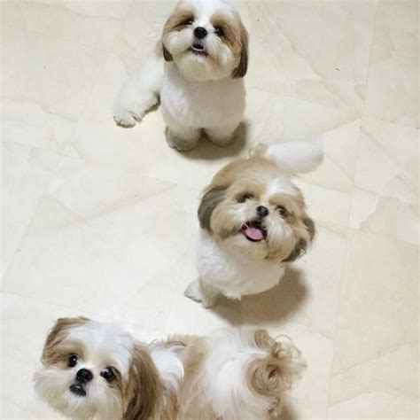 shih tzu treasures 1000 images about shih tzu on puppys pet loss and pets