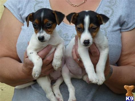 Jack Russell Puppies Pictures to Pin on Pinterest - TattoosKid