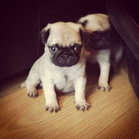 pug for sale in pug puppies for sale kidderminster worcestershire pets4homes