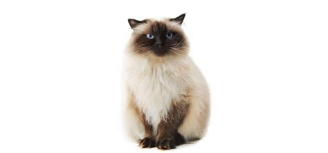 himalayan cats himalayan cat insurance reviews and comparisons