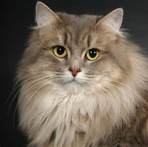 most beautiful breeds ranking the most beautiful cat breeds cats breeds care