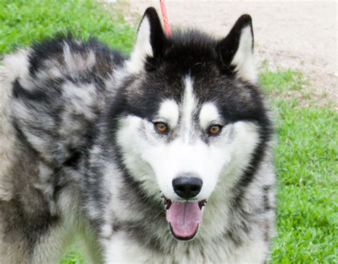 husky puppy rescue siberian husky dogs for adoption and rescue design bild