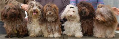 havanese show dogs havanese breed standards