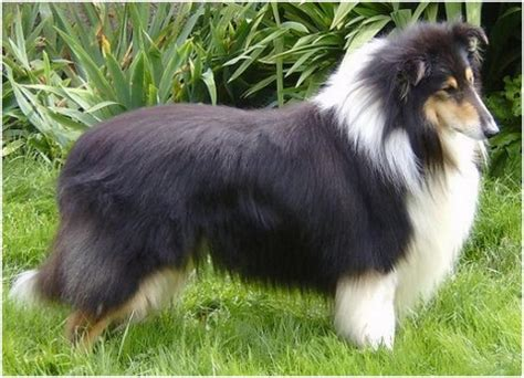 Smooth Collie Shedding by Collie Facts Pictures Puppies Rescue Temperament Breeders Animals Breeds