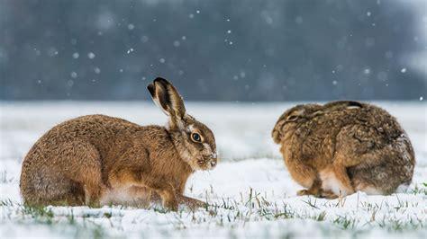 le hase hintergrundbilder tiere schnee winter tierwelt