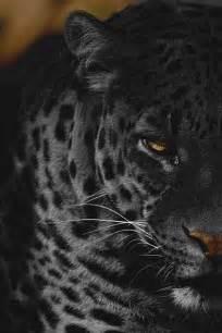 Leopard Panther Jaguar 25 Best Ideas About Black Jaguar Animal On