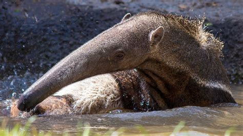 giant anteater  cool   texas heat youtube