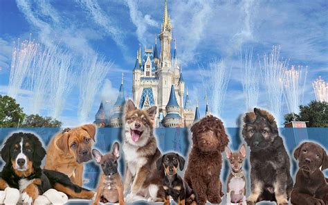 hotels that accept dogs walt disney world to allow dogs at four of its resort hotels