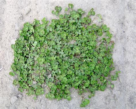 white clover trifolium repens 183 msu plant and pest