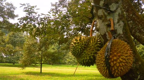 Bibit Buah Naga Bogor wisata bogor taman wisata mekarsari