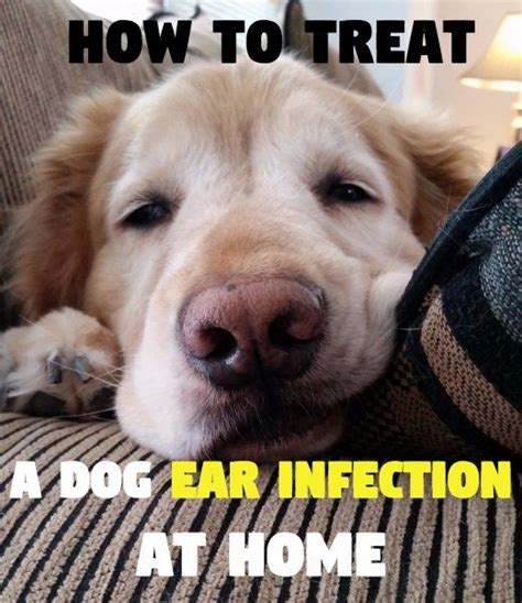 golden retriever ear infection home remedy how to treat a s ear infection without vet help pethelpful