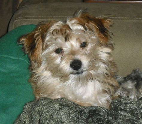 yorkie dog with lion haircut yorkie lion cut pictures to pin on pinterest pinsdaddy