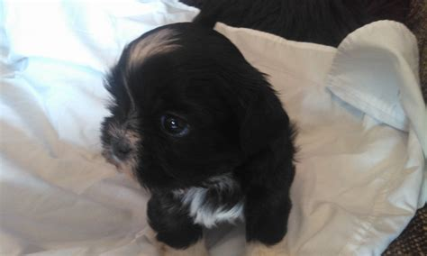 chocolate imperial shih tzu absolutly stunning chocolate 1 2 imperial shih tzu hengoed caerphilly pets4homes