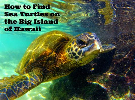 How To Find Pictures Of I Family Travel How To Find Sea Turtles On The Big Island Of Hawaii