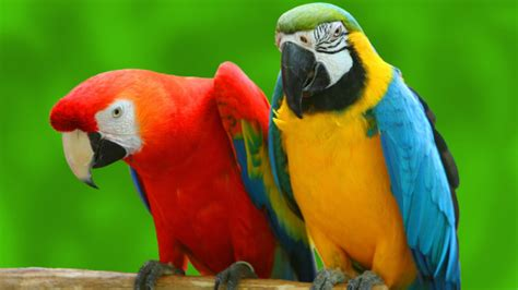 beautiful parrot images wallpapers  downloadhd