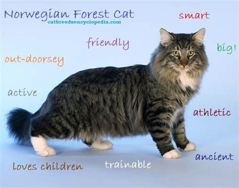The Norwegian Forest Cat   Cat Breeds Encyclopedia