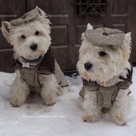 west highland terrier puppies best 25 west highland terrier ideas on