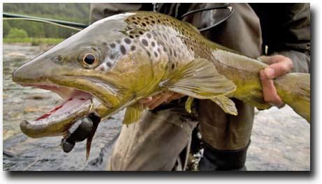mouse pattern brown trout dry fly fishing angler adventures s blog