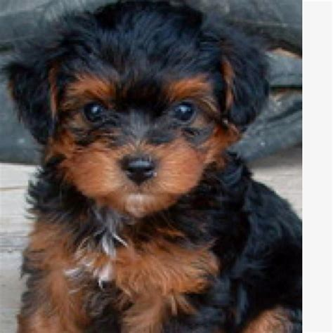 brown yorkie 39 best images about puppies on poodles yorkie and image search