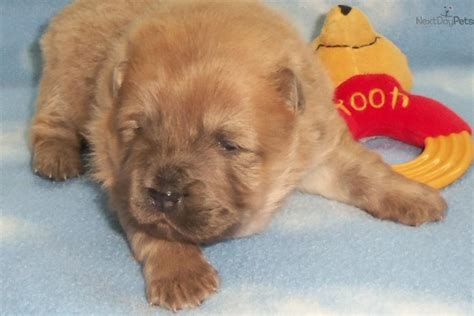 chow chow puppies for sale near me chow chow puppy for sale near kansas city missouri 030f67c7 6de1