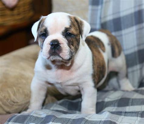 american bulldog puppies craigslist handsome american bulldog pups puppyindex