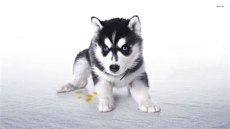 husky puppy wallpaper husky puppy wallpaper animal wallpapers 27971 litle pups