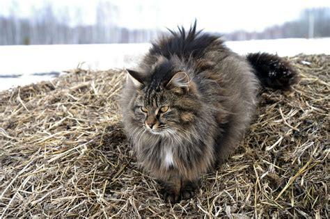 siberian cat   cat