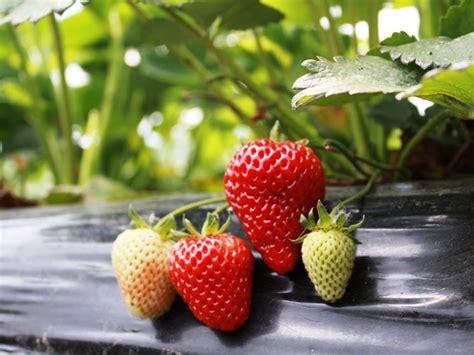 concime per fragole in vaso coltivazione fragole frutteto come coltivare le fragole