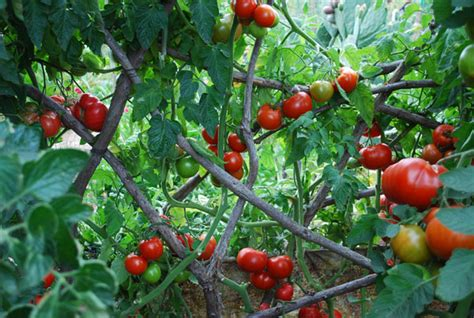 Patio Tomato Plant Care by Growing Tomatoes How To Grow Tomatoes Planting Tomatoes