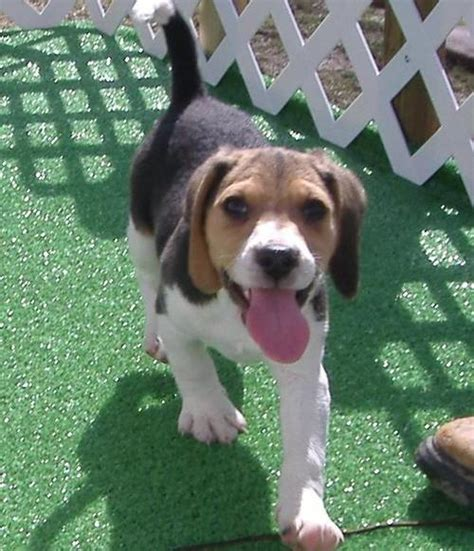 beagle puppies for free beagle puppies for free homes available adelaide dogs for sale puppies for sale
